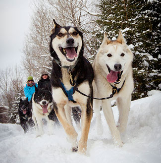 Happy Dog Sledding